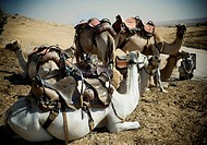 Saddled Camels in Israel