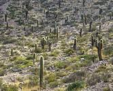Trichocereus pasacana cacti, Purmamarca, Jujuy Province, Argentina