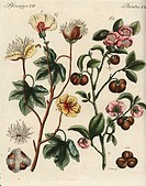 Levant cotton plant, Gossypium herbaceum, and tea plant, Camellia sinensis. Handcoloured copperplate engraving after a botanical illustration by Chris...