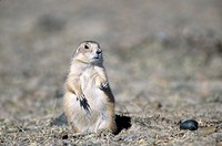 Black-tailed Prairie Dog looking to the photograph