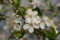Prunus cerasifera, Wildpflaume, Cherry plum