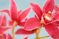 the cymbidium orchid often used as a symbol of Spring.