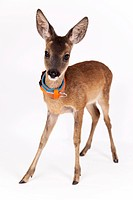 Roe Deer (Capreolus capreolus), fawn with collar, captive