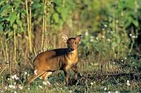 Chinesischer Muntjak - (Zwergmuntjak - Weibchen) / Chinese Muntjak - (Barking Deer - doe) / Muntiacus muntjak (reevesi)