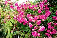 Beautiful pink climbing roses, Scotland.