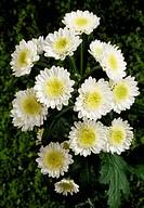 Mums (Chrysanthemum sp), Asteraceae.
