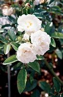 Rose (Rosa Yvonne Rabier), Rosaceae.