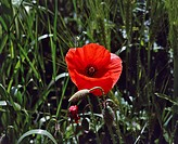 Common poppy, corn poppy or annual poppy (Papaver rhoeas), Papaveraceae.