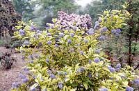 California lilac, redroot (Ceanothus zanzibar), Rhamnaceae.