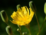 common nipplewort (Lapsana communis), inflorescence, Germany