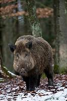 Wild boar in winter, Sus scrofa, Germany, Europe / Wildschwein im Winterwald, Sus scrofa, Deutschland, Europa