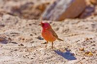 Sinai Rosefinch (Carpodacus synoicus) male on the ground, negev desert, israel