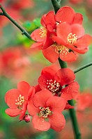 Japanese quince (Chaenomeles japonica).