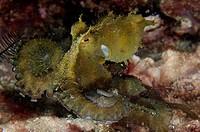 Algae Octopus (Abdopus aculeatus), Wainilu dive site, Rinca Island, Komodo National Park, Indonesia.