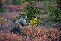 Moose (Alces alces), Denali National Park, Alaska, United States