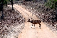 Spotted Deer Crossing the Path inside Jungle Bandhavgarh Forest Madhya Pradesh India Asia