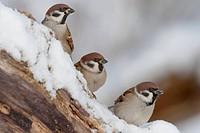 Tree Sparrow (Passer montanus), Bavaria, Germany
