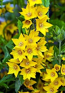 Perennial Lysimachia Punctata (Loosestrife) yellow flowers in High Meadow Garden Cannock Wood Staffordshire