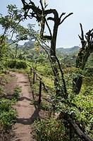 Lachay National Reserve.Huarura.Lima.Perú.Coastal hills ecosystem.Tara treeCaesalpinia Spinosa.