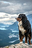 Male Bernese Mountain Dog in front of the Engadine Valley, Muottas Muragl. Switzerland.