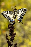 Animal, Butterfly, Insect, Lepidoptera, Old World swallowtail, Papilio machaon, Papilionidae, Swallowtail, Switzerland, Nature