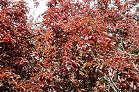 Purple leaf cherry plum