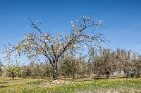 Blooming apple tree in front of an olive grove