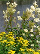 Filipendula and tansy