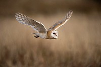 Barn owl (Tyto alba), flying, Czech Republic.