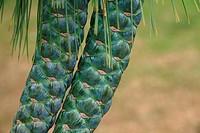 Weymouth pine cone