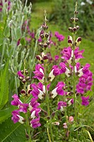 Antirrhinum, Snapdragon bicolour pink and cream herbaceous perennial in flower at Cae Newydd on the Isle of Anglesey, North Wales UK, Summer