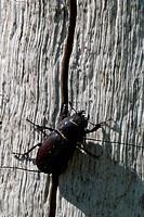 Female Stag Beetle (Lucanus cervus) photographed at Horns Kungsgård on Öland, Sweden.