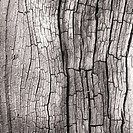 Black and white image of tree bark of ancient oak in woodland a former medieval royal hunting forest with living and remnants of sessile oak at Brocto...