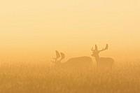 Fallow Deers (Cervus dama) on misty morning at sunrise, Hesse, Germany, Europe.