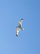 Upward view of flying seagull against blue sky, England