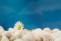 White daisy, stones and blue sky. Selective focus