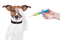 dog vaccination with a big blue Syringe