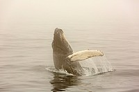 Humpback Whale Breaching (Megaptera novaeangliae) Witless Bay Ecological Reserve, Newfoundland, Canada