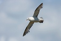 Northern Fulmar flying Fulmaris glacialis. Ireland.