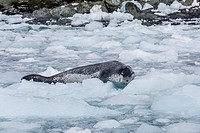 Adult leopard seal, Hydrurga leptonyx, hauled out on ice at Elephant Island, South Shetland Islands, Antarctica.