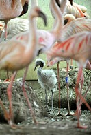 First juvenile lesser flamingo which hatched on February 13 is seen in the zoo in Zlin, Czech Republic, March 13, 2015. (CTK Photo/Dalibor Gluck)