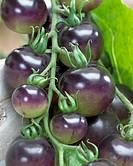 Solanum lycopersicum Indigo Rose