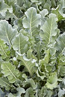 Brassica oleracea convar. botrytis var. cymosa Santee