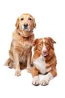 Nova Scotia Duck Tolling Retriever and a golden retriever on a white background