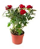 Rose Flower growing in the Pot. Gardening