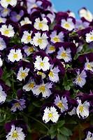 Viola Cool Wave Violet Wing