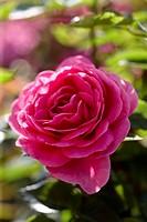 Rosa Lea