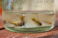 Common Wasps, Vesputa vulgaris, drowned in sugary liquid in a glass bottle, Wales, UK.