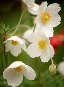 Anemone nemorosa, Early spring flowering plant with musky smell of the leaves