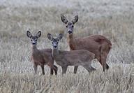 Roe deer (Capreolus capreolus), Stockholm, Sweden
